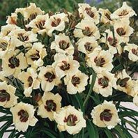 Garden with Breck's and SAVE! Shop Breck's premium Pandora's Box Reblooming Daylily and try our gorgous garden flowers! Part Shade Flowers, Bulb Flowers, Bright Flowers, Reblooming Daylilies, Bulbs And Seeds, Perennial Bulbs, Plant Zones, Lawn Sprinklers, Pandoras Box