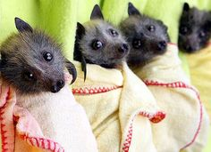 Flying Fox Bat babies in Australia-love their little faces!