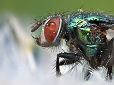 #Fly, #insect, #macro, #photography,