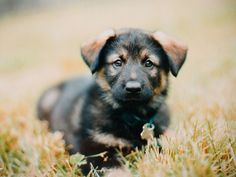 I am very worried because being a puppy is quite complicated. For good measure, I suggest you rub my belly. German Shepherd Mix Puppies, Shepherd Mix Dog, Australian Shepherd, Lab Mix Puppies, Funny Dogs, Poodle, Puppy Love, Dog Cat, Pets