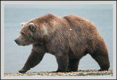 Grizzly bear sow walking, Katmai  National Park, Alaska.   A large adult grizzly bear sow (female) walks along the edge of Naknek Lake, Katmai National Park, Alaska.