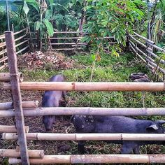 Look at how big our Bali Black Pigs are growing! #repost @thepflaum back on the Good Earth Farm #pigs #farmpigs #farmanimals #gorgeous #happy #farmlife #smallfarm #permaculture #permaculturefarm #balifarm #ubud