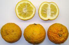 Fruit (en hesperidi) del taronger amargant (Citrus aurantium)
