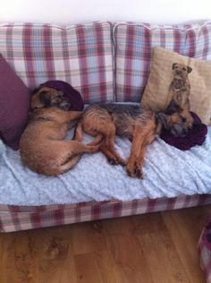 """"""" waves tired paws back excitement of joining posse tired us out"""" Terrier Dogs, Terriers, Cute Boarders, Border Terrier, Little Brown, Brown Dog, Sausages, Little Dogs, Tired"""