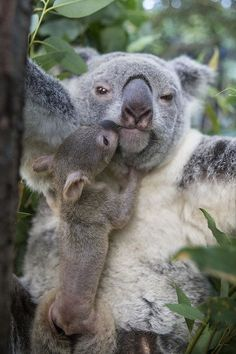 Koala Joey Exiting Pouch To Nuzzle Art Print by Suzi Eszterhas. All prints are professionally printed, packaged, and shipped within 3 - 4 business days. Choose from multiple sizes and hundreds of frame and mat options. Cute Funny Animals, Cute Baby Animals, Animals And Pets, The Wombats, Australian Animals, Tier Fotos, Cute Animal Pictures, Animals Beautiful, Pet Birds