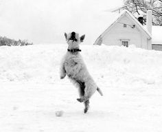 Scottish Terrier Dances.. be sure to follow the source for more pics