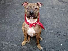 URGENT! THIS DOG WILL BE EUTHANIZED UNLESS A HOLD IS PLACED ON HIM BY NOON 7/14/14.  LOG IN TO THE AT RISK LIST TO PLACE A HOLD AND SAVE A LIFE.  http://nycacc.org/PublicAtRisk.htm  ................Manhattan Center  My name is MAXIMUS. My Animal ID # is A1005656. I am a neutered male br brindle pit bull mix. The shelter thinks I am about 6 years old.