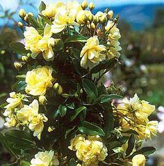 Rosa banksiae 'Lutea'atSan Marcos Growers