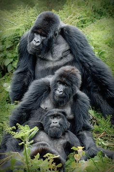 Gorilla family by Andreas Rolfer, via Flickr Primates, Mammals, Nature Animals, Animals And Pets, Baby Animals, Wild Animals, Safari Animals, Beautiful Creatures, Animals Beautiful