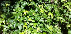 """Sometimes just hearing the words """"Poison Ivy"""" can make people begin to itch. Hilary tells you about her experience with it:"""