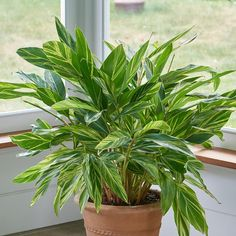 The handsome leaves of this striking foliage plant appear in lush clumps and are splashed in creamy yellow. Nestled snugly into a mixed container planting or featured singly as a specimen in your favorite pot, it's sure to command attention. Tropical Patio, Flower Identification, Easy Care Plants, Liquid Fertilizer, Marijuana Plants, Cannabis Growing, Foliage Plants, Container Plants, Hydroponics