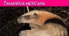 Tamandua Day:  Nomes comuns: tamanduá-mexicana, tamanduá do nort...