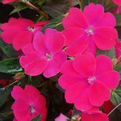 Impatiens that grow in the sun!