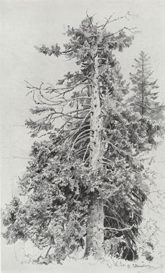 Ivan Ivanovich Shishkin - Spruce, 1870s. Paper, graphite pencil, 48 x 30 cm. The Russian Academy Of Fine Arts Museum, St. Petersburg.