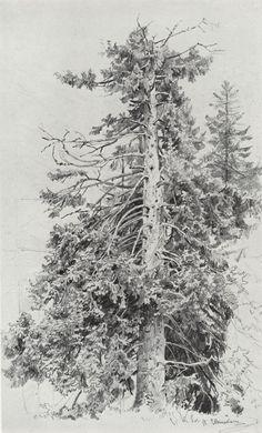 IvanIvanovichShishkin-Spruce, 1870s.Paper, graphite pencil, 48 x 30 cm.The Russian Academy Of Fine Arts Museum,St. Petersburg.