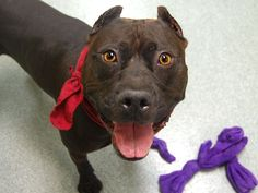 GONE --- TO BE DESTROYED - 11/03/14 Manhattan Center -P  My name is CHURCH. My Animal ID # is A1018917. I am a male black and white pit bull mix. The shelter thinks I am about 6 YEARS old.  I came in the shelter as a OWNER SUR on 10/27/2014 from NY 11368, owner surrender reason stated was ATT PEOPLE.  https://www.facebook.com/photo.php?fbid=897092573636956