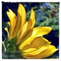 In diretta dal giardino: Girasole (Helianthus annuus) - Buongiorno giardinieri! #giardino #giardinoindiretta #fiori
