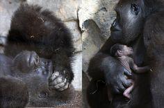 La joven gorila Nalina de 10 años, sujeta a su cría, nacida naturalmente y frente al público, en el Bioparc de Valencia. Esto no le impidió, poco después, dar volteretas de alegría mientras protegía cuidadosamente a su bebé. (EFE).