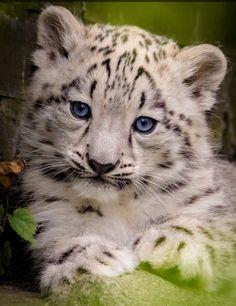 Pretty Cats, Beautiful Cats, Animals Beautiful, Cute Baby Animals, Animals And Pets, Funny Animals, Baby Snow Leopard, Leopard Cub, Kittens Cutest