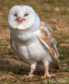 Barn Owl | Flickr - Photo Sharing! I love owls. When I was a little girl, we used to see these all the time, but not anymore...so sad.