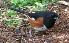 Eastern Towhee, Columbia, South Carolina