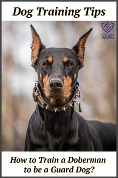 As you may know, dobermans are commonly used as guard dogs in various situations, which can include, but are not limited to, various home-guarding scenarios. Read our guide to training your doberman as a guard dog to tap into your dobermans' potential. Protection Dog Training, Guard Dog Training, Doberman Training, Dog Training Tips, Black Doberman, Doberman Dogs, Doberman Pinscher, Best Dogs For Families, Family Dogs