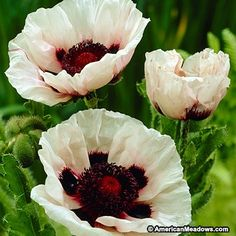 "Perry's White Oriental Poppy  charming suggested flower though not native nor used for dye   zone 3- 9  Light Requirements	Full Sun  Flower Color White  Mature Height	24-36"" tall  Mature Spread 12-24"" wide  Bloom Time	LATE SPRING MID SUMMER Planting Depth Plant so that the top of the root is 1"" below the soil line.  Planting Time	Fall  Soil Type	Loamy Soil,  Drought/Dry Soil Soil Moisture	 Dry, Average, Well Draining Advantages Deer Resistant,"