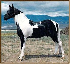 Tennessee Walker - stallion Pride's Thrill-Ah-Gee
