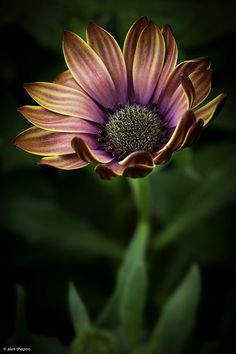 Gazania ~ Alan Shapiro Photography