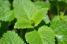 Lemon balm benefits families in a variety of ways. Learn about why this lemon balm is a great herb to grow in your yard and stock in your medicine cabinet. Lemon Balm Recipes, Sun Tea Recipes, Herbal Remedies, Home Remedies, Remedies For Bee Stings, Lavender Scones, Chakras Reiki, Usui Reiki, Lemon Balm Tea