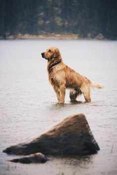 "Find out even more info on ""golden retriever puppies"". Have a look at our internet site. Cute Puppies, Cute Dogs, Dogs And Puppies, Doggies, Animals Beautiful, Cute Animals, Retriever Puppy, Hunting Dogs, Mans Best Friend"