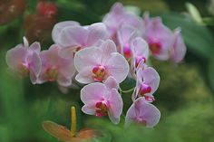 Phalaenopsis Orchid | by lfeng1014