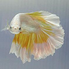 AquaBid.com - HM ROSE TAIL YELLOW EDGE CREAM