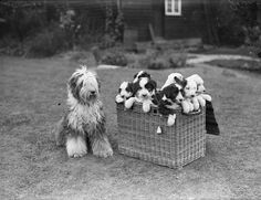A basket of delight! Taken in 1929. | 15 Photographs That Definitively Prove Puppies Have Always Been Adorable