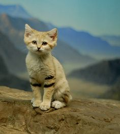 The Sand Cat – or Felis margarita, a little known species of desert cat. In the wild it lives in areas that are too hot and dry for any other cat- the deserts of Africa and Asia, including the Sahara.