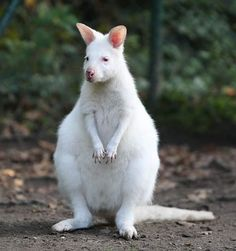 Albino Kangaroos are extremely rare, and found almost exclusively on Australian Zoos.