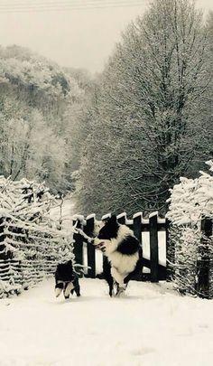 Beatiful Border Collie
