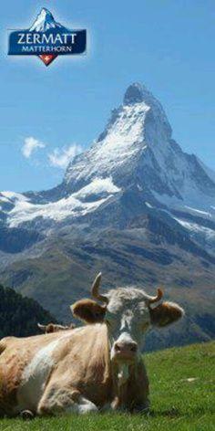 La vache, le Cervin ! Zermatt, Switzerland Tour, Alpine Plants, Swiss Alps, Gentle Giant, Central Europe, Train Rides, Web Design, Travel Posters