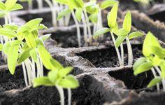 Как бороться с плесенью в рассаде? Как избавиться? На почве, в горшках. Фото - Ботаничка.ru