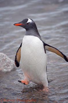 gentoo penguin looking - Google Search