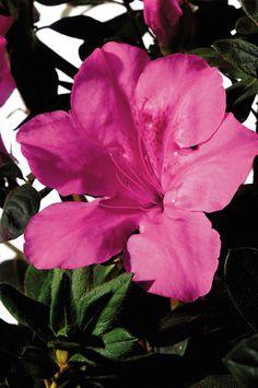 1 Gallon - Encore Azalea Autumn Sangria - Evergreen Shrub that boasts large vibrant neon pink flowers