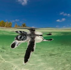 Best photos, images, and pictures gallery about baby sea turtle - sea turtle facts. Baby Sea Turtles, Cute Turtles, Beautiful Creatures, Animals Beautiful, Sea Turtle Facts, Tortoise Turtle, Turtle Love, Ocean Creatures, Tortoises