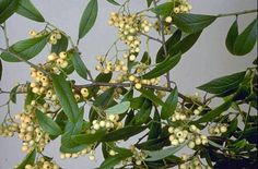 RHS Plant Selector Cotoneaster 'Rothschildianus' AGM / RHS Gardening. Daleside have it
