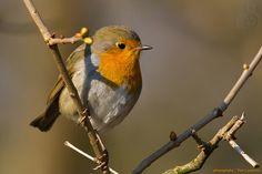 Robin, Bird, Animals, Robins, Pictures, Animales, Animaux, Animais, Birds