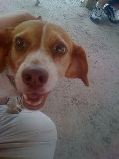 Beagle 911  Copper