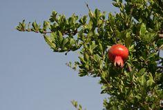 Pomegranate - Saveh region - Iran