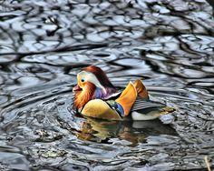 Mandarin duck $8.25 http://www.redbubble.com/people/brandonbatie/works/4851142-mandarin-duck?ref=work_carousel_work_portfolio_1