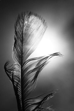 Photo Title: Sunlit Feather Every summer my immediate family and I go on family vacation in Holland Michigan. We spend most of the time we are on vacation on the beaches of Lake Michigan. Every year we go I take another photo similar to this one ~ This photo is part of my Sunlit Feather Series were I hold a feather up and take a silhouetted picture of the feather as it is back-lit by the sun ~ Sizes Available For Print: 8x12 = $18 ~ Editioned - 1/44 (Photo centered on 9x13 sheet with h...