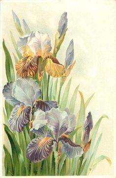 Iris postcard ~ 1908