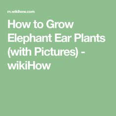 How to Grow Elephant Ear Plants (with Pictures) - wikiHow